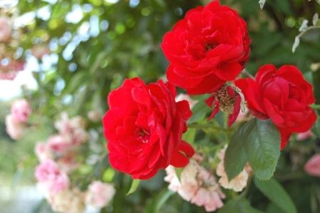 rose21.jpg